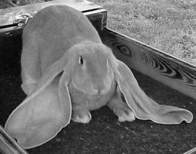 Rabbit exhibitors suffer discouragement